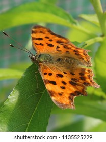 A Comma butterfly on a leaf