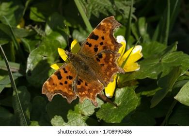 Comma Butterfly on Spring Celandine