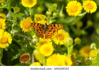 A Comma Butterfly (Polygonia c-album) on a Common Fleabane (Pulicaria dysenterica) flower at the Titchfield Haven Nature Reserve