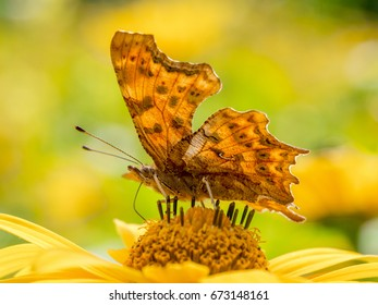 A Comma butterfly (Polygonia c-album) on a perennial sunflower (Helianthus).