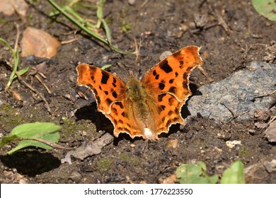 Comma Butterfly (Polygonia c-album) at rest in the sunshine. England, UK.