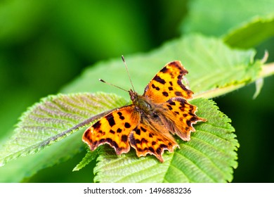 Comma butterfly Polygonia c-album resting on a leaf with wings open