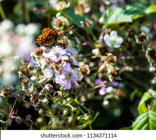 Comma butterfly (Polygonium c-Album) on pink blackberry flowers
