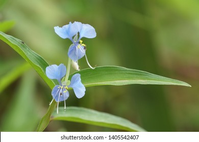 Commelina communis, commonly known as the Asiatic dayflower, They are less often known as widow's tears