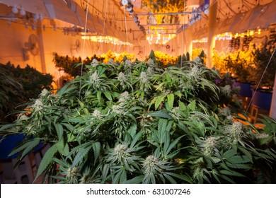 Commercial Cannabis Grow