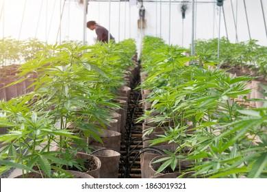 Commercial Cannabis Grow. A man on a cannabis plantation in sunlight. Marijuana grow operation, commercial Cannabis business. Worker checking plant in green house on morning light.