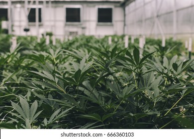 Commercial Cannabis Grow Operation, Grown by TKO Reserve