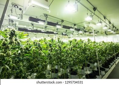 Commercial Cannabis Indoor Grow Fresh Medical Marijuana Indoor Weed Farm