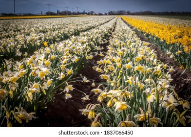 Commercial daffodil production in Spalding, Lincolnshire
