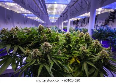 Opération commerciale de culture de la marijuana