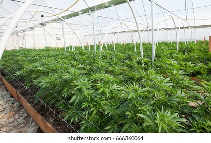 Commercial Marijuana Grow Operation