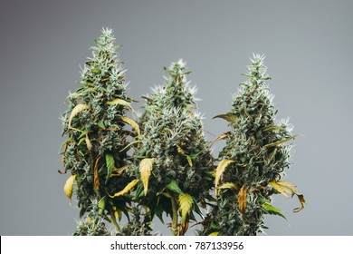 commercial marijuana grow operation