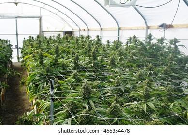 Recreational Cannabis Images, Stock Photos & Vectors   Shutterstock