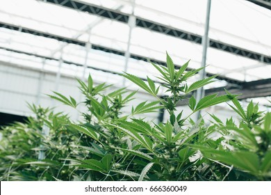 Commercial Marijuana Grow Operation, Grown by TKO Reserve