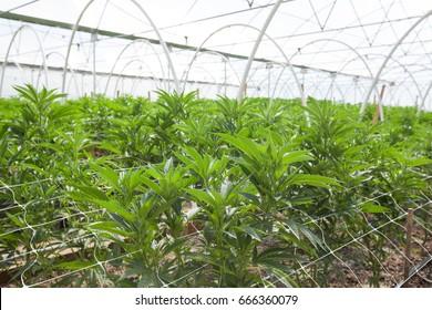Commercial Marijuana Grow Operation, Hoop Houses