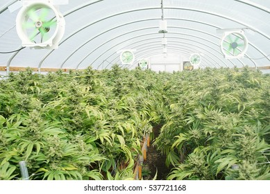 Commercial Marijuana Recreational Grow Operation Greenhouse. California Legal Cannabis Plants Growing Fans Filters