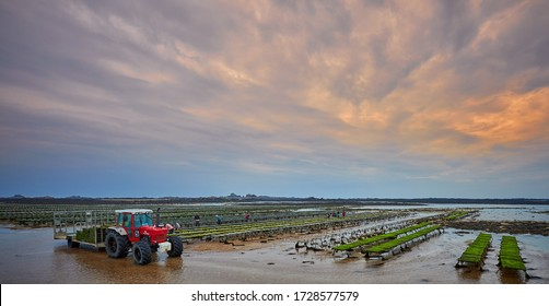 Commercial Oyster Farm Beds on the beach in St Clements Bay, Jersey Channel Islands. The workers are turning over the baskets and shaking out the oysters so they don't stick to each other. 9 May 2020