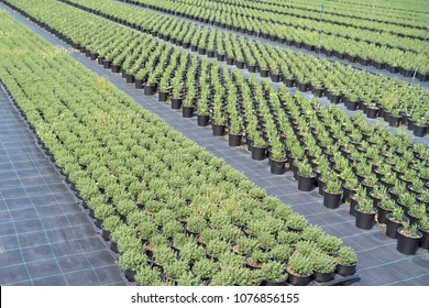 Commercial plants of thyme and rosemary growing in  greenhouse