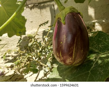 A commercial tunnel house growing eggplant, aubergine, or brinjal (Solanum melongena) for the wholesale market. Ripe purple eggplant growing in a greenhouse. Eggplant in the garden. Fresh organic  - Shutterstock ID 1599624631