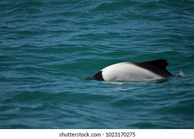 commerson's dolphin near Trelew, Patagonia, Argentina