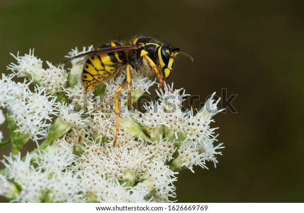 A Common Aerial Yellowjacket is collecting nectar from tiny white flowers.  Also known as a Common Yellow Hornet or Sandhills Hornet. Taylor Creek Park, Toronto, Ontario, Canada.