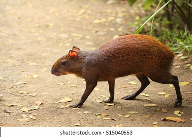 Common Agouti rodent running across the path, Costa Rica.