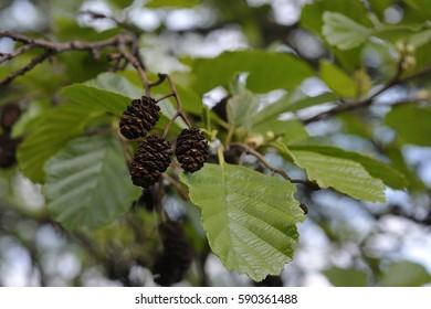 common alder, black alder, European alder (Alnus glutinosa) leaves and cones