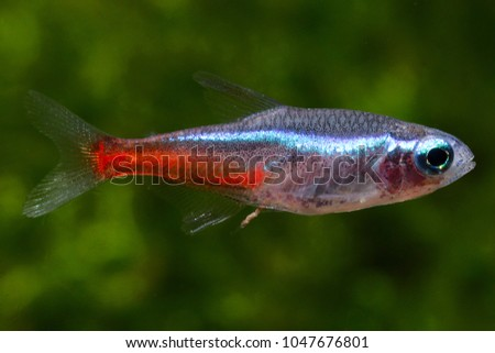 common aquarium fish neon tetra paracheirodon stock photo edit now