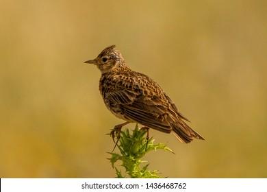 Common Skylark(Alauda arvensis) Laverca, Portugal