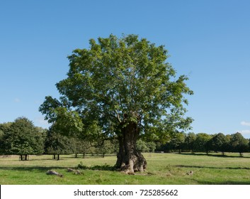 Common Ash Tree (Fraxinus excelsior) in Parkland in Rural Somerset, England, UK