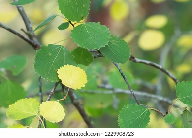Common aspen, Populus tremula leafs on twig in autumn