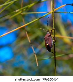 Common Australian Gum tree bug poecilometis patruelis of beetle genus pentatomidae on a green casuarina needle  in spring.