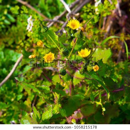 Common Australian Pasture Weed Common Sow Stock Photo Edit Now