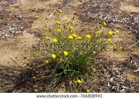 Common australian pasture weed common sow stock photo edit now a common australian pasture weed common sow thistle asteraceae sonchus oleraceus has pretty double yellow flowers mightylinksfo