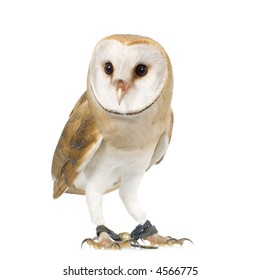 Common Barn Owl (4 mounths) in front of a white background
