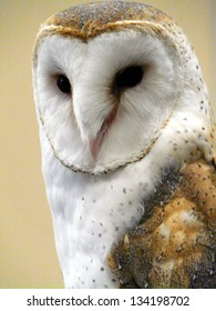 Common Barn Owl demonstrating pride and attitude