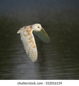 Common Barn Owl, also known as Barn Owl, in fligth above water
