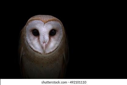 common barn owl ( Tyto alba ) in the dark