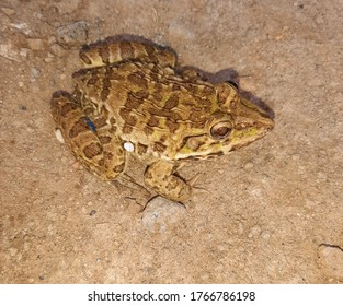 Common big frog, forest frog or orange frog