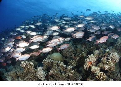 Common bigeyes in the Red Sea