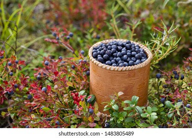 Common bilberries (vaccinium myrtillus) in a birch bark bucket. Season: Summer 2019. Location: Western Siberian taiga.