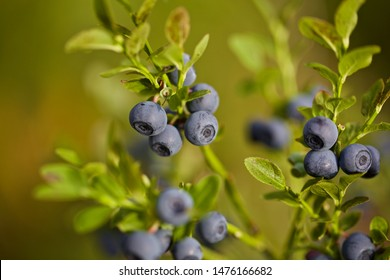 A common bilberry shrub (vaccinium myrtillus) with ripe blue fruits. Season: Summer 2019. Location: Western Siberian taiga.