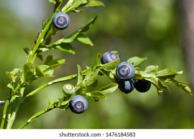 A common bilberry shrub (vaccinium myrtillus) with dark blue fruits. Season: Summer 2019. Location: Western Siberian taiga.
