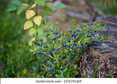 A common bilberry (vaccinium myrtillus) growing in boreal forest. Season: Summer 2019. Location: Western Siberian taiga.