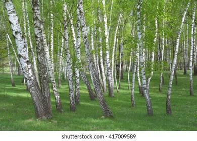 Common birch,  Betula pendula forest
