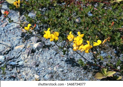 Common bird's-foot trefoil or eggs and bacon or birdsfoot deervetch or bird's-foot trefoil (Lotus corniculatus) bright yellow flowers growing on blue soil polluted with copper sulfate