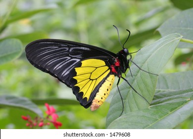 Common Birdwing Butterfly (Troides Helena) resting on leaf