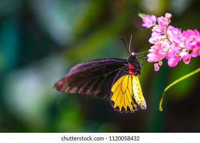 Common Birdwing side view on pink flowers