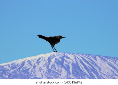Common black bird crow or grackle perched on beach umbrella on bright clear blue sky sunny day.
