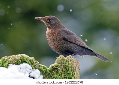 Common Blackbird / Eurasian Blackbird / female / Turdus merula